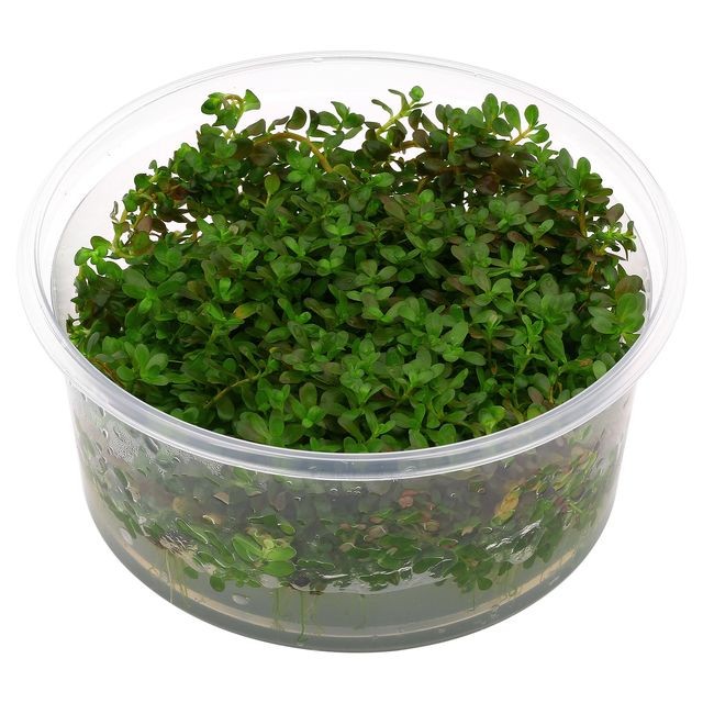 Rotala rotundifolia 'Ceylon' - in Vitro XL