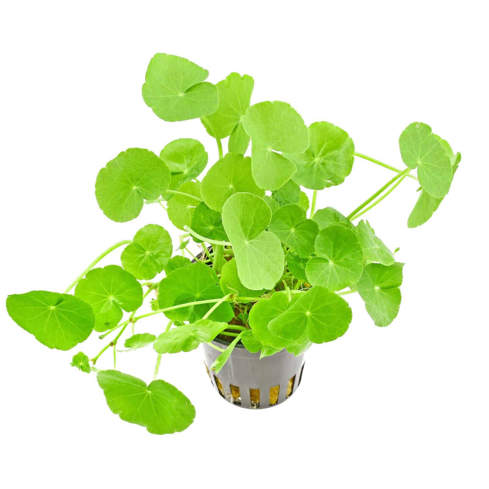 HYDROCOTYLE LEUCOCHEPALA 10 STEMS PLANT AQUARIUM