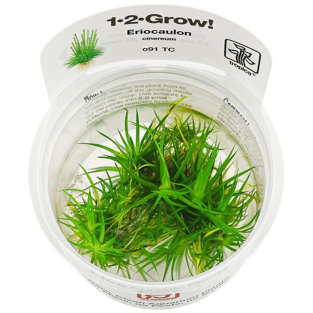 Eriocaulon cinereum - 1-2-GROW!