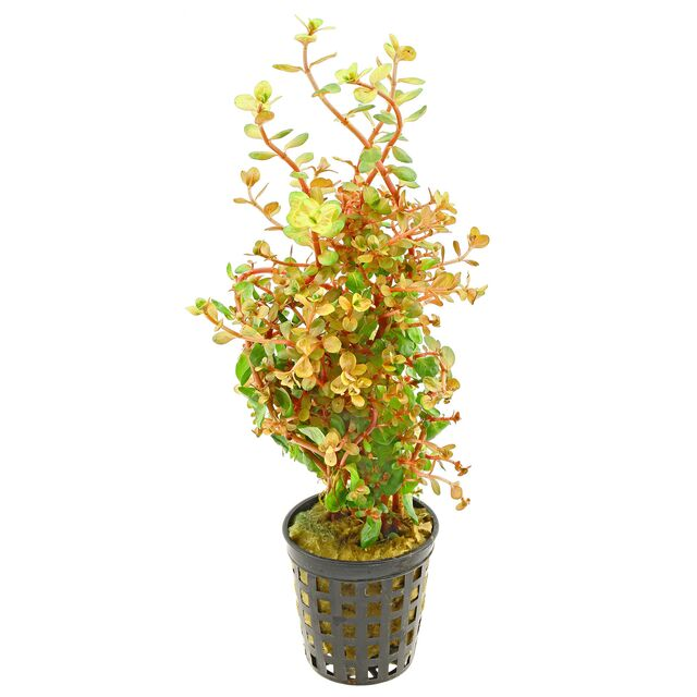 Rotala rotundifolia 'Orange Juice' - Pot