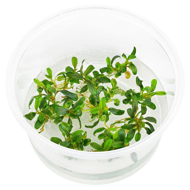 Bucephalandra Sp Mini Needle Leaf In Vitro Xl Aquasabi