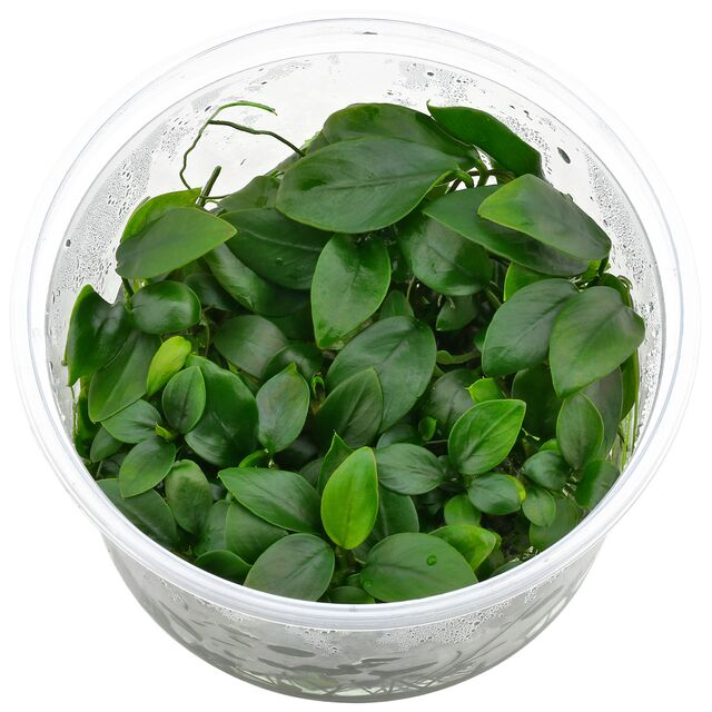 Anubias barteri var. nana 'Golden Heart' - in Vitro XL