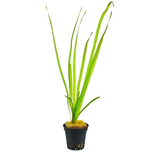 Image result for vallisneria spiralis