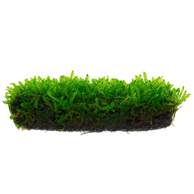 Carpet Moss Scientific Name Carpet Vidalondon