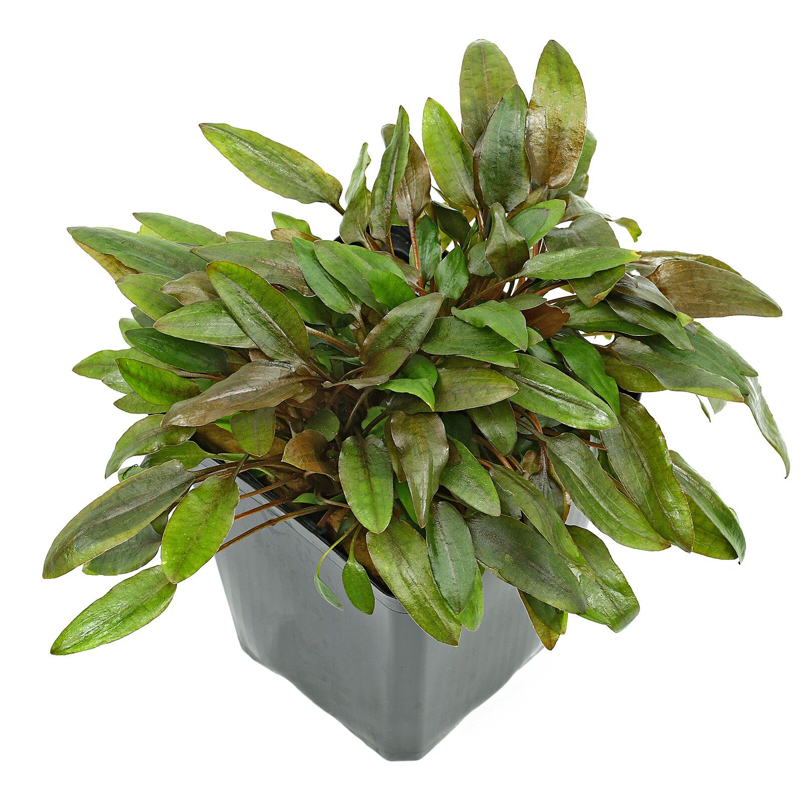 "Cryptocoryne wendtii ""brown"""
