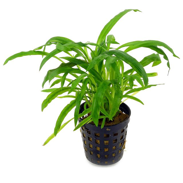"Cryptocoryne albida (""costata"") - pot"