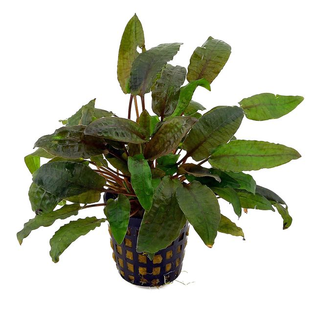 Cryptocoryne beckettii - Pot