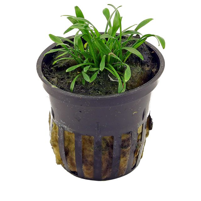 Cryptocoryne parva - pot