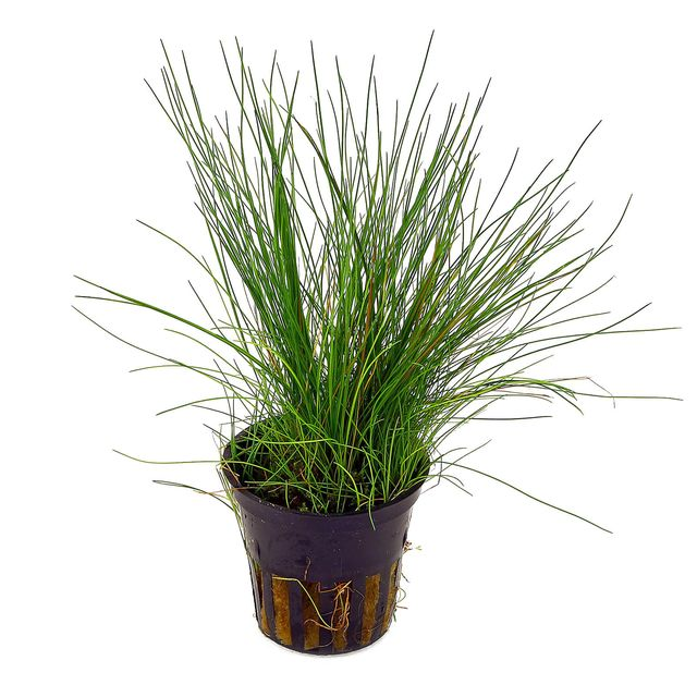 Eleocharis acicularis - pot
