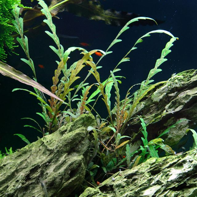 Hygrophila pinnatifida