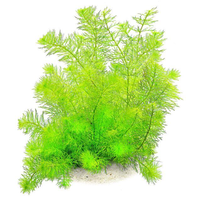 Wasserpflanzen Aquarienpflanzen Raritaten Aquasabi Online Shop