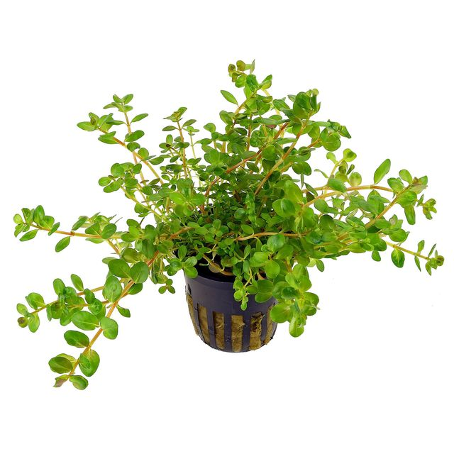 Rotala rotundifolia - pot