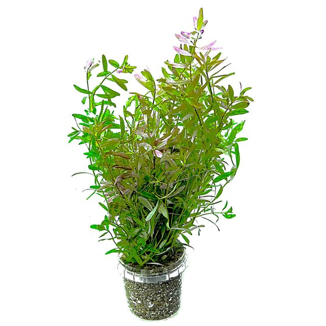 Rotala rotundifolia 'Ceylon' - Bunch