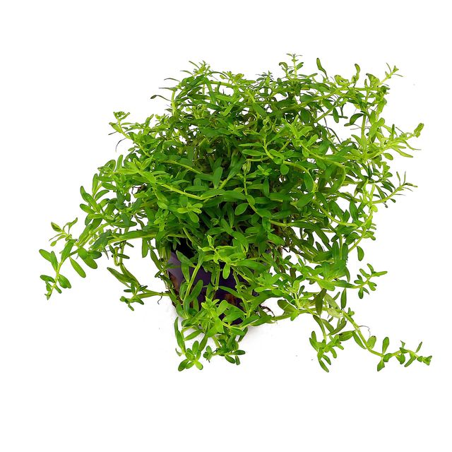 "Rotala sp. ""Green"""