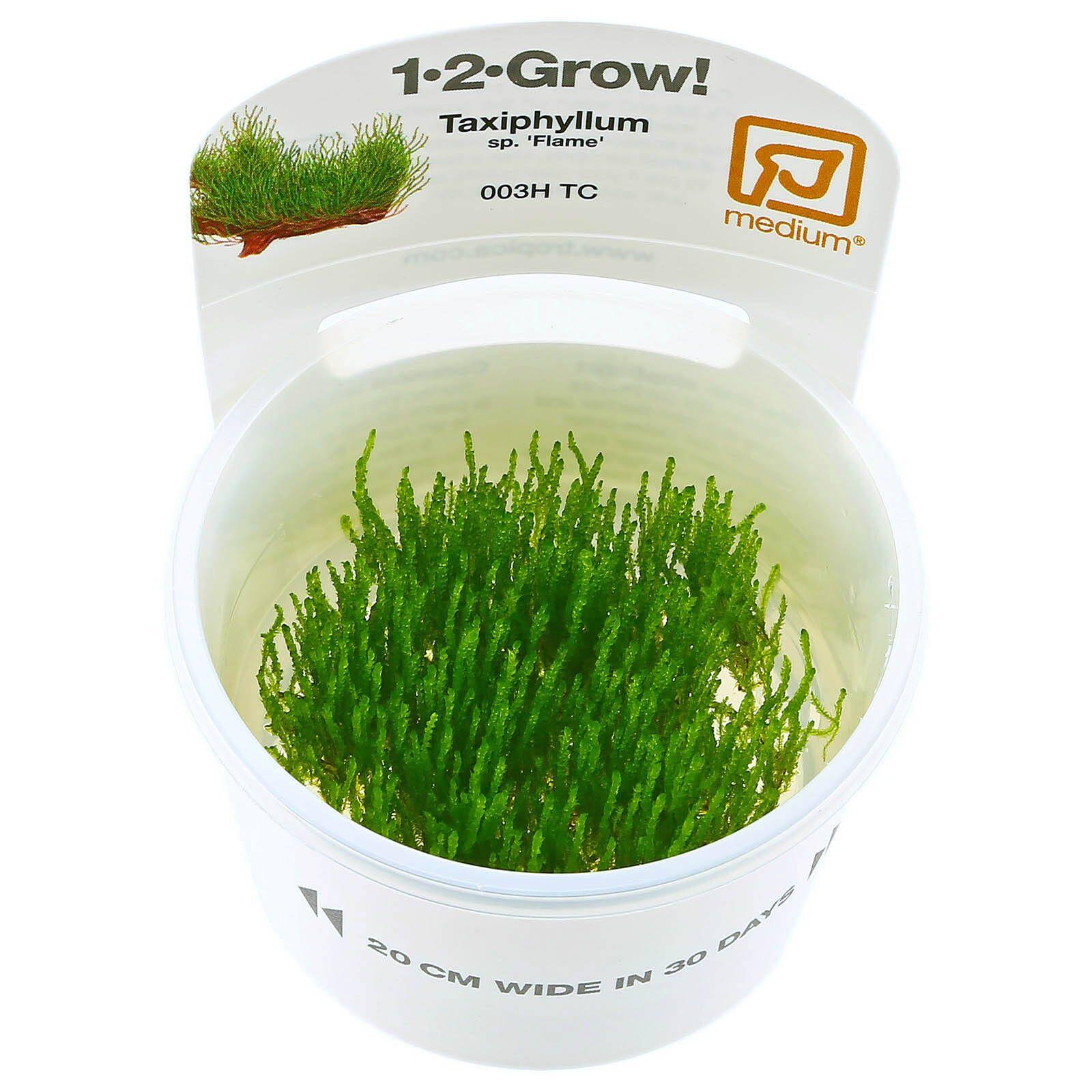 Taxiphyllum Sp Flame Moss 1 2 Grow Aquasabi Aquascaping Shop