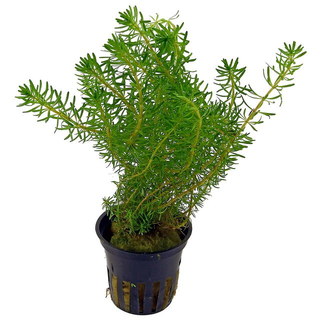 Rotala wallichii - pot