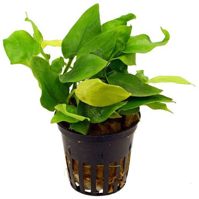 Anubias barteri var. nana 'Golden Heart' - Pot