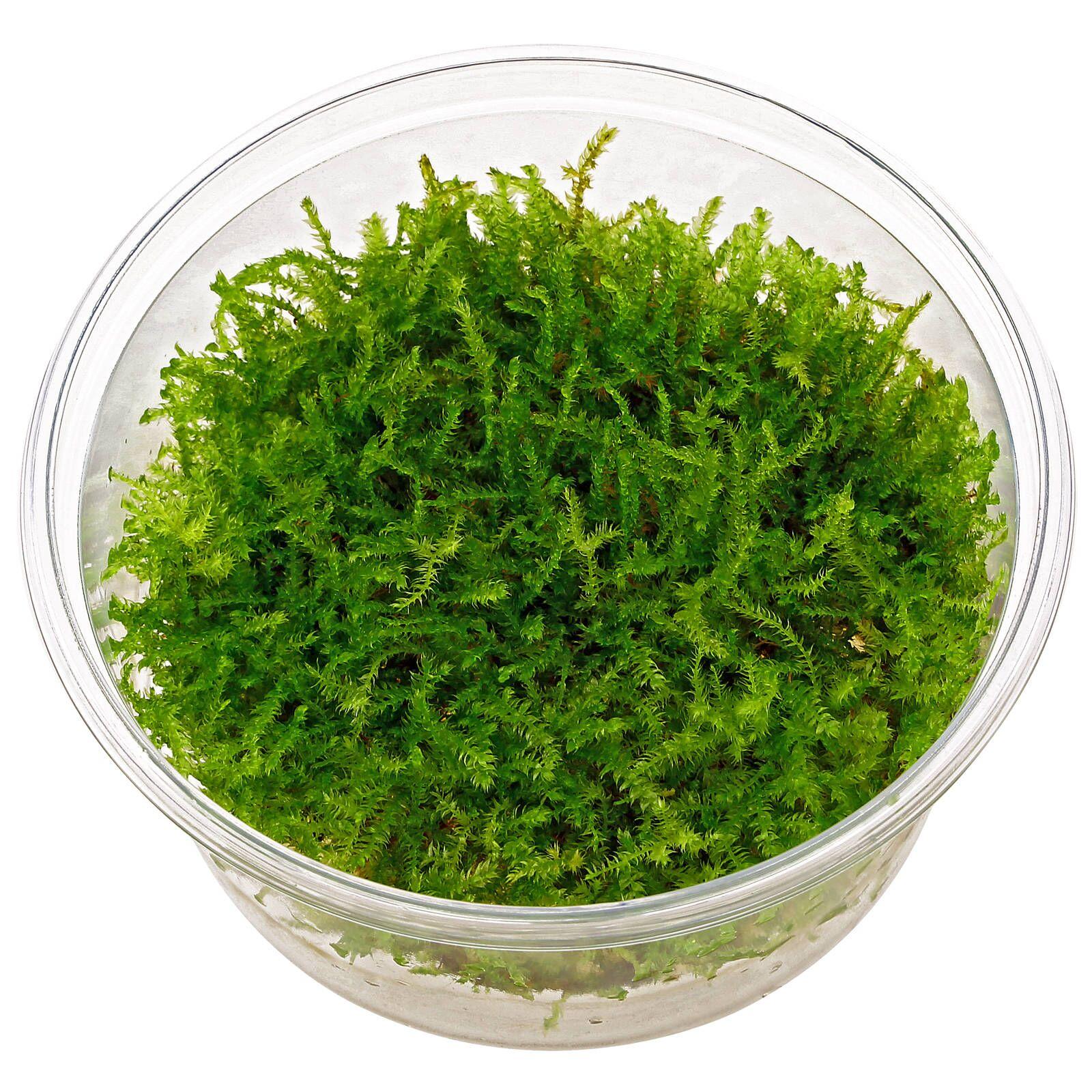 Vesicularia Christmas Moss In Vitro Xl Aquasabi