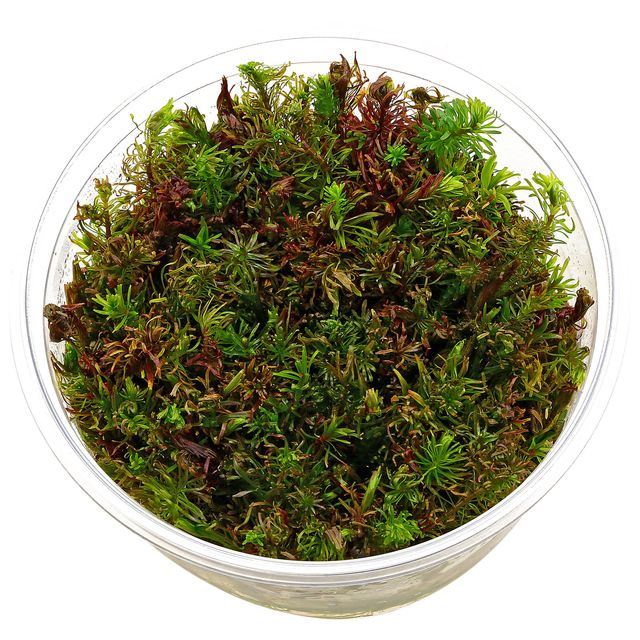 Rotala sp. 'Vietnam' - in Vitro XL