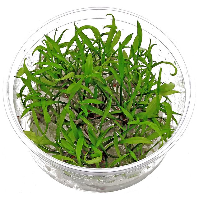 Cryptocoryne parva - in Vitro XL