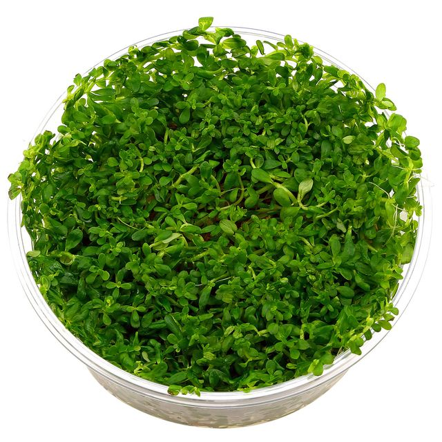 "Rotala sp. ""Green"" - in Vitro XL"