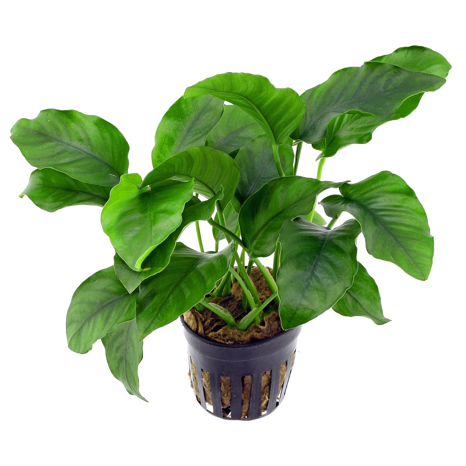 Image result for anubias