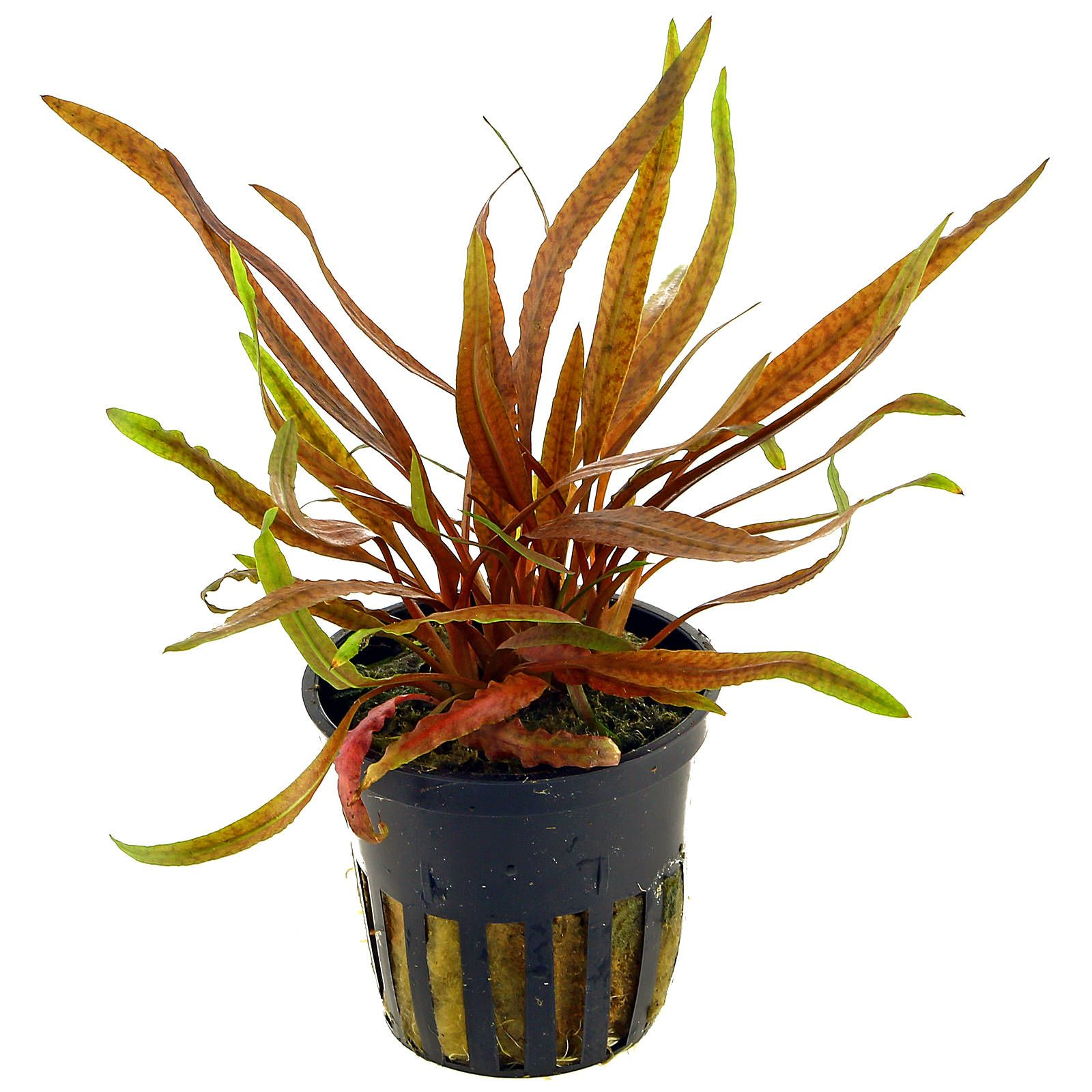 Cryptocoryne albida 'Brown' - Pot | Aquasabi - Aquascaping ...