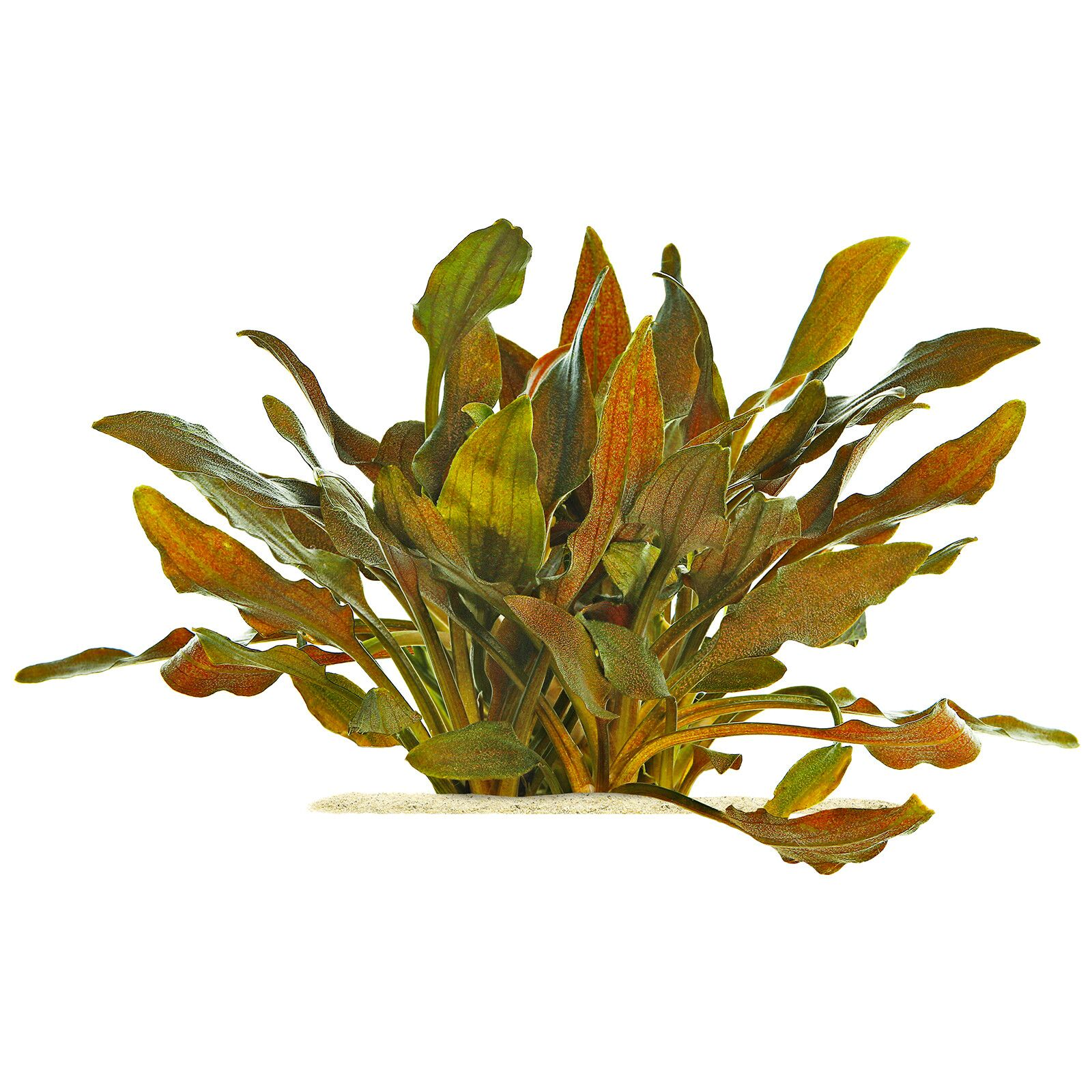 Cryptocoryne walkeri 'Hobbit'
