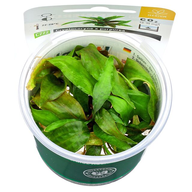 "Cryptocoryne ""Purpurea"""