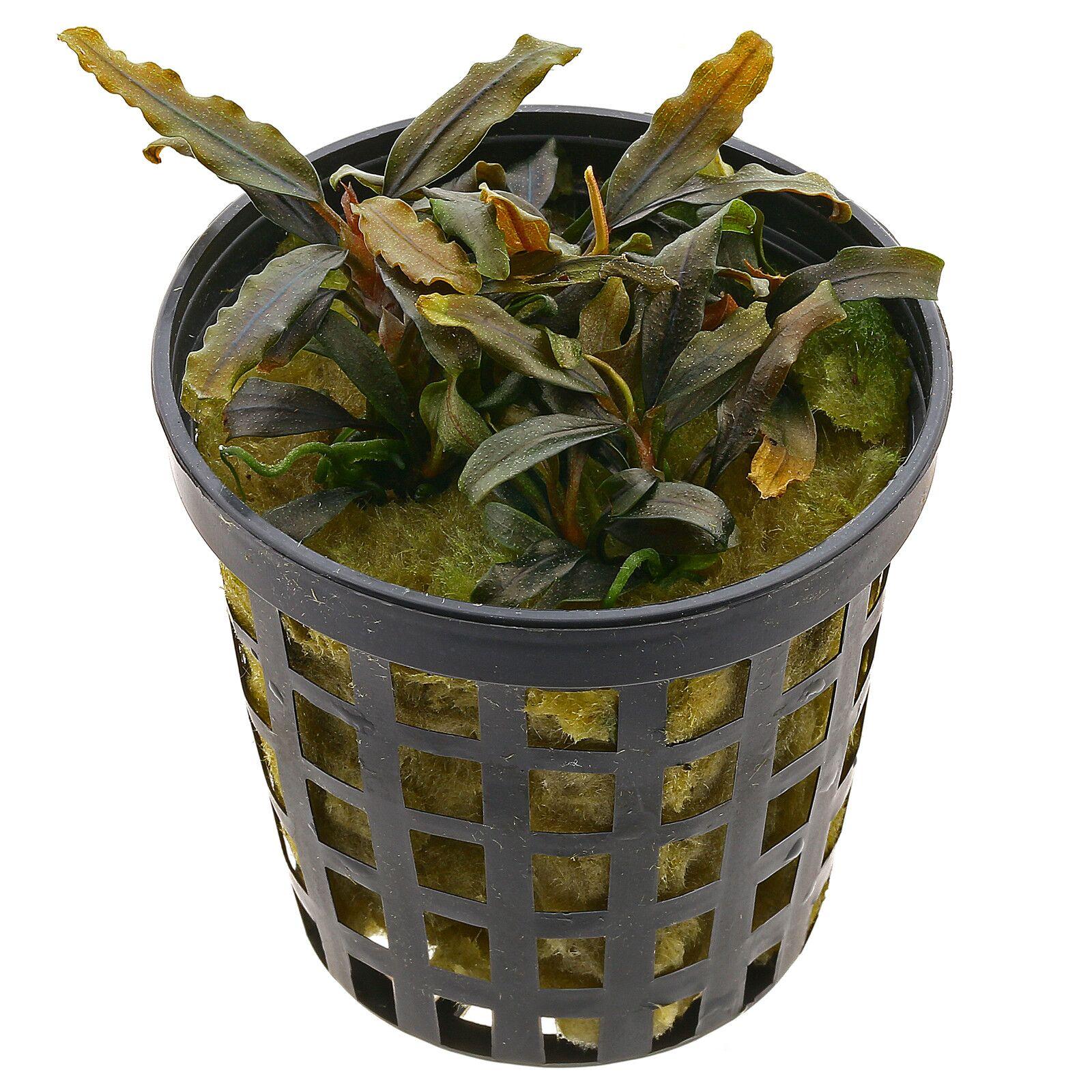 "Bucephalandra sp. ""Mini Catherinae"" - Pot | Aquasabi ..."
