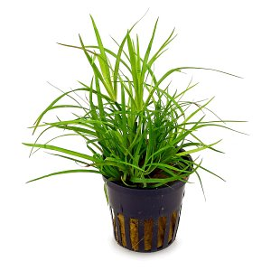 Juncus repens - pot